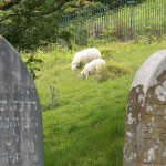Sheep in Cemetry.